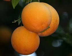 hp-citrus
